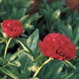 Officinalis Rot