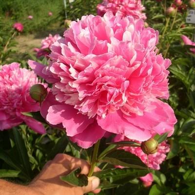 Attar of Roses