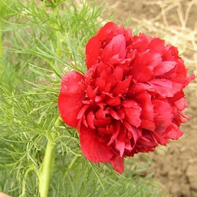 tenuifolia Plena