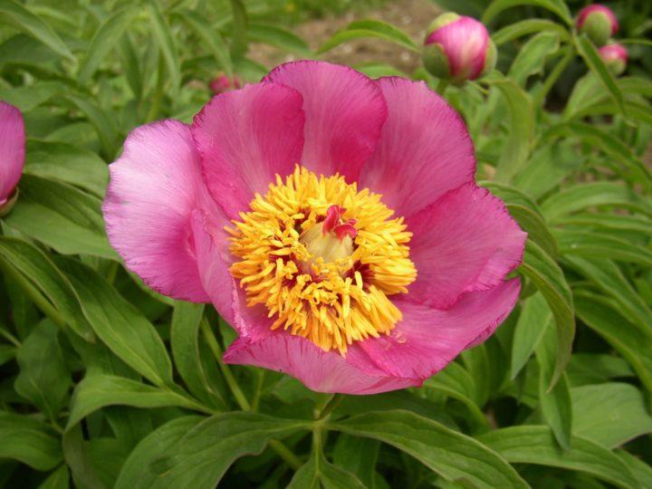 officinalis ssp. Banatica