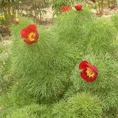 Tenuifolia (Einfach)