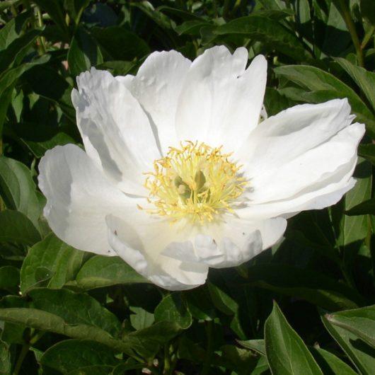 lactiflora Wildform