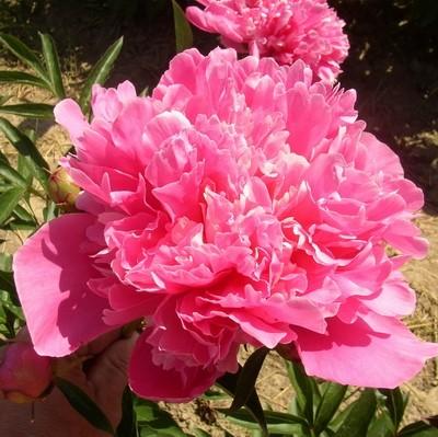 Gitschi Rosa