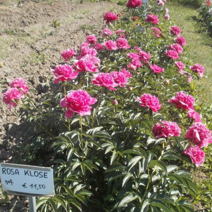 Rosa Klose