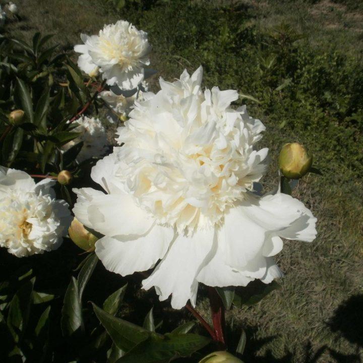 Charlys White