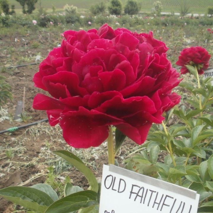 Old Faithfull syn Ole Faithfull