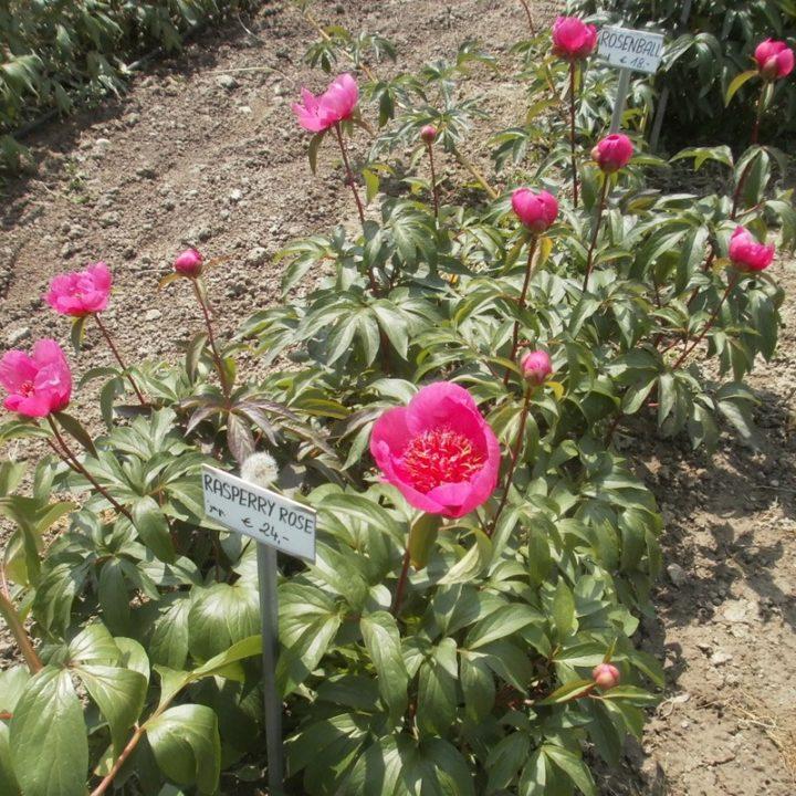 Rasperry Rose