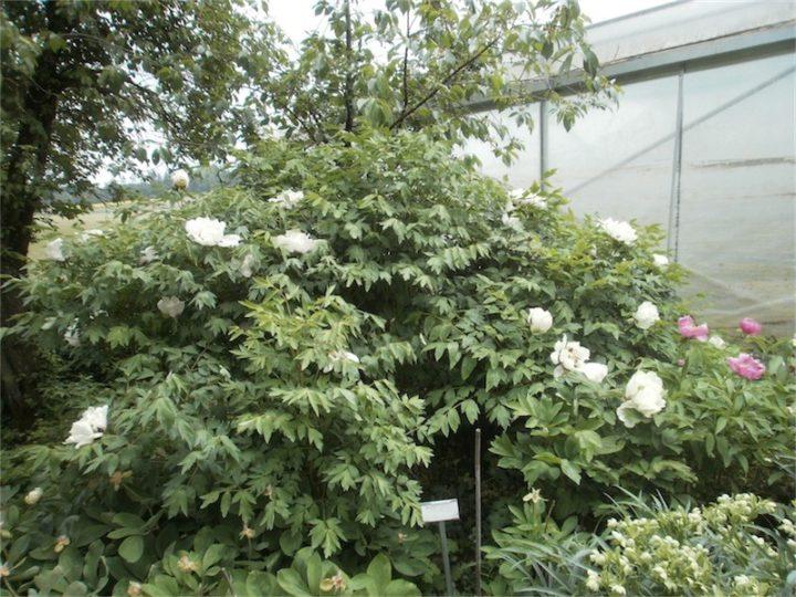 Weiß Garten 2jV