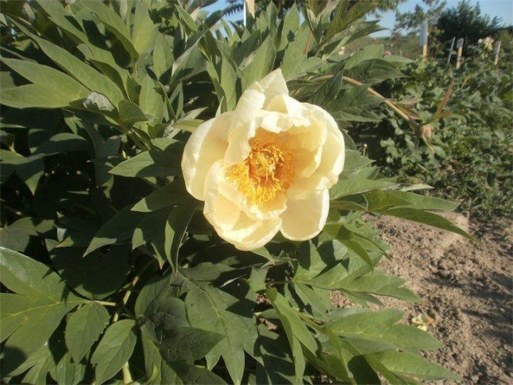 Narcissus 3jV