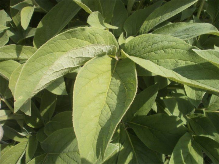 x Chamaelon Typ längliche Blätter